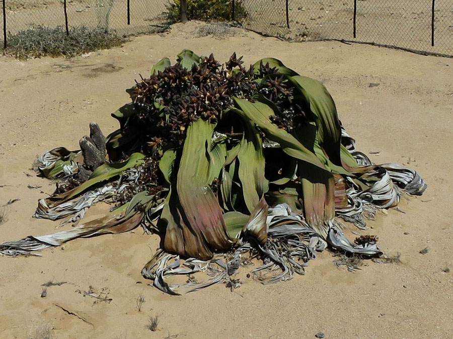 Welwitschia Plant - estimated to be 1,500 years old