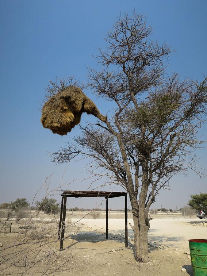 Impressive Weaver Bird nest